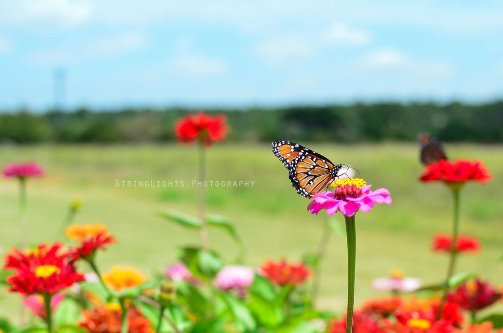 web_butterfly